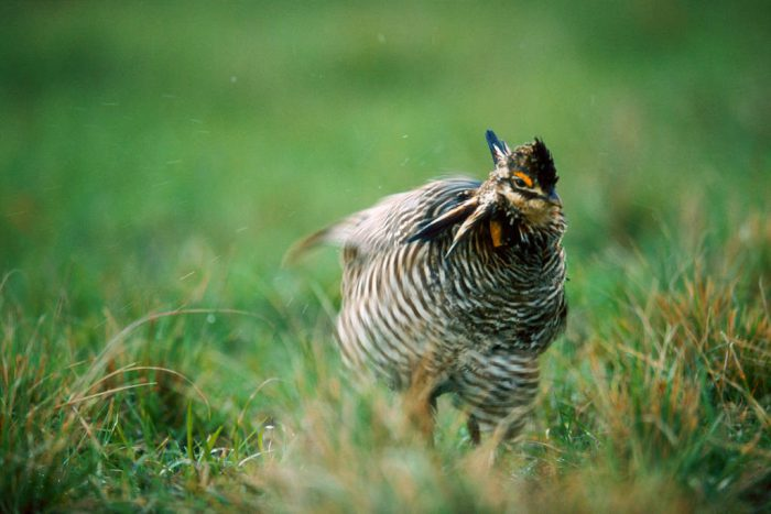 Photo: A male Attwater's prairie-chicken (endangered) shakes off the rain.