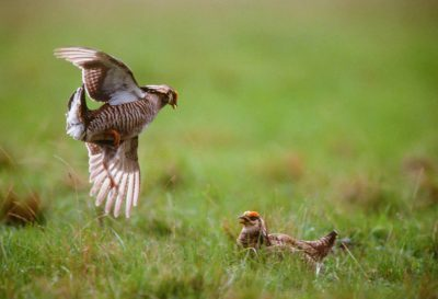 Photo: Two male Attwater's prairie-chickens (endangered) fight over the attention of nearby females on a booming ground in Texas.