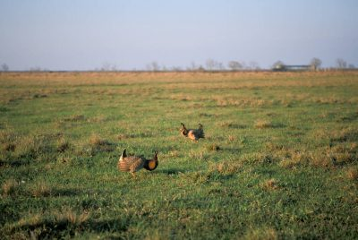 Photo: Male Attwater's prairie-chickens booming on a lek near Texas City, Texas.