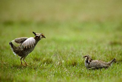 Photo: Two male Attwater's prairie-chickens face off at The Nature Conservancy's Texas City Prairie Preserve.