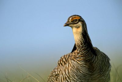 Photo: A male Attwater's prairie chicken at The Nature Conservancy's Texas City Prairie Preserve.