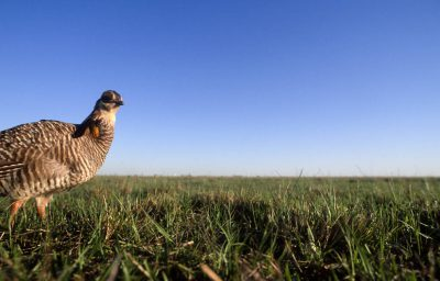 Photo: An endangered Attwater's prairie-chicken over one of its last booming grounds in Texas' coastal prairie.