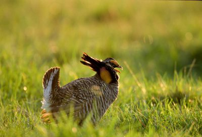 Photo: A male Attwater's prairie chicken booming.