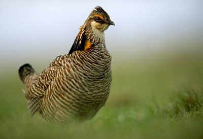 Photo: Male Attwater's prarie-chicken on a lek near Texas City, Texas.
