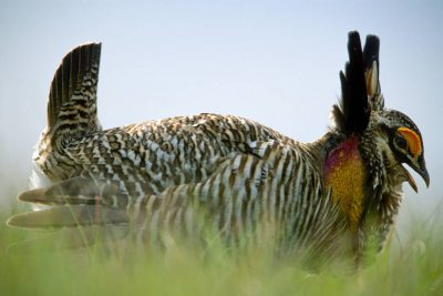 Photo: Male Attwater's prarie-chicken booming.
