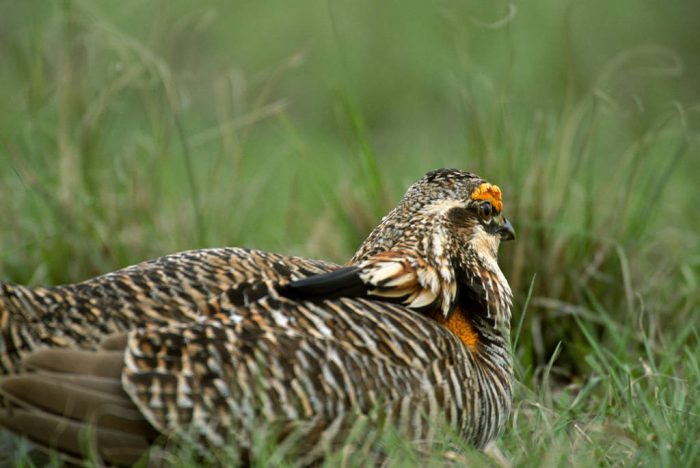 Photo: One of few remaining wild male Attwater's prairie-chickens looks out from its hiding place at The Nature Conservancy's Texas City Prairie Preserve.
