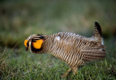 Photo: A male Attwater's prairie chicken booming at The Nature Conservancy's Texas City Prairie Preserve.