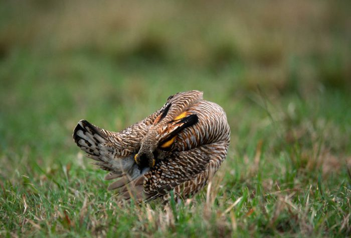 Photo: An Attwater's prairie-chicken takes a break from booming to groom itself.