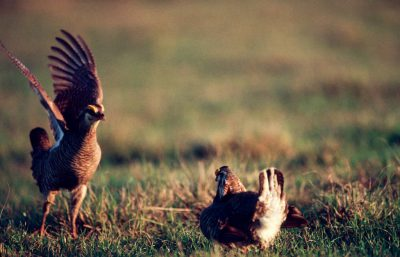 Photo: Male Attwater's prarie-chickens face off.