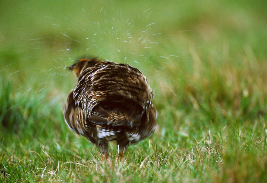 Photo: An Attwater's prairie-chicken shakes off the rain near Texs City, Texas.