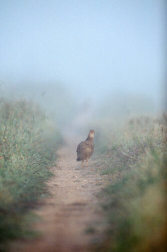 Photo: An Attwater's prairie-chicken at Attwater Prairie Chicken National Wildlife Refuge.
