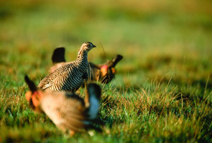 Photo: A female Attwater's prairie-chicken amid booming males vying for her attention at The Nature Conservancy's Texas City Prairie Preserve.