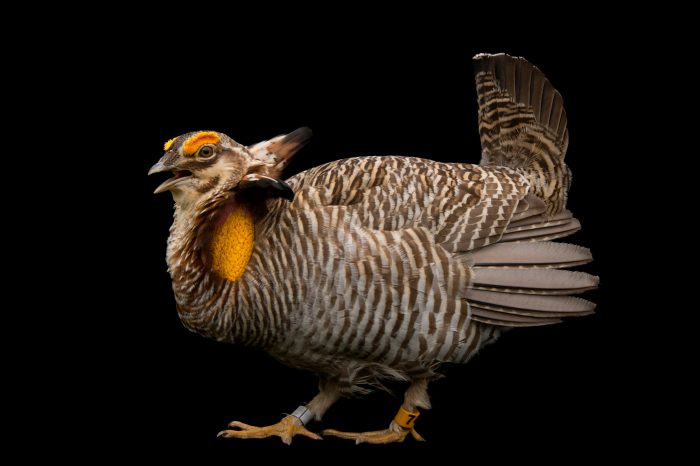 Picture of a vulnerable (IUCN) and federally endangered Attwater's prairie chicken (Tympanuchus cupido attwateri) at the Caldwell Zoo in Tyler, Texas.
