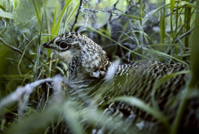 Photo: A female Attwater's prairie-chicken hides in the grass at a captive breeding facility.