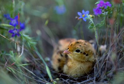 Photo: A juvenile Attwater's prairie-chicken hides in the grass at a captive breeding facility.