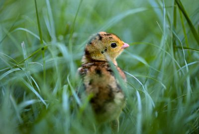Photo: A juvenile Attwater's prairie-chicken looks out from its hiding place in the grass at a captive breeding facility.