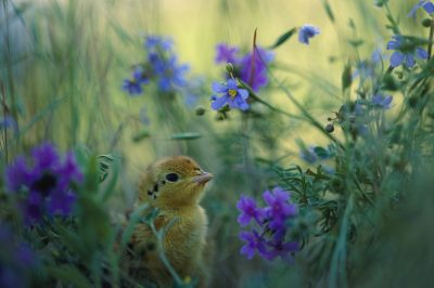 Photo: An Attwater's prairie chick surrounded by wildflowers.