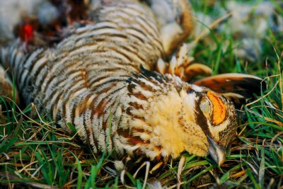 Photo: Close-up of an endangered male Attwater's prairie- chicken,killed by a Cooper's hawk.