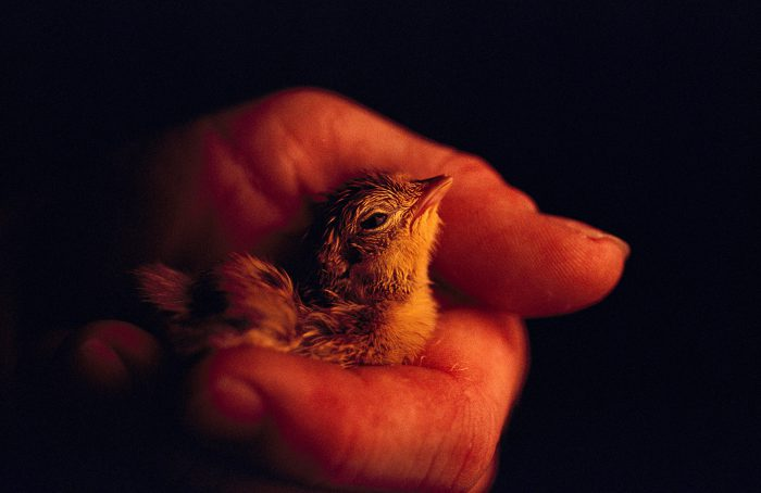 Photo: This captive-born chick resting in the hands of a biologist represents the last hope for the Attwater's prairie-chicken.