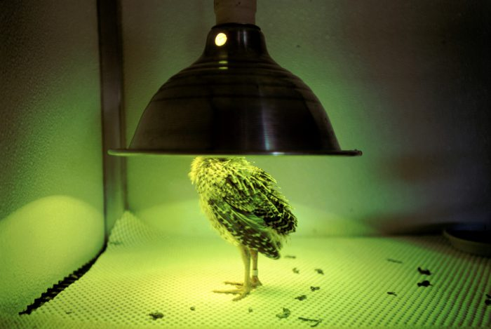 Photo: A heat lamp serves as a surrogate mother for this juvenile Attwater's prairie-chicken at the Fossil Rim Wildlife Center.