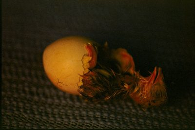 Photo: Just hatched, an exhausted Attwater's prairie-chicken restsafter freeing itself from its egg in the Fossil Rim Wildlife Center's incubator room.