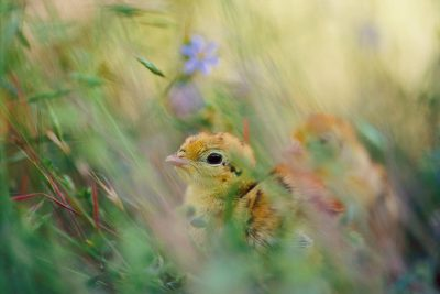 Photo: A young Attwater's prairie-chicken (endangered) huddles in the grass, surveying its new surroundings near Texas City, TX.