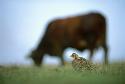 Photo: The endangered Attwater's prairie-chicken needs short grass to see other members of its species as well as predators.