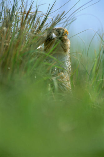 Photo: A male Attwater's prairie-chicken watches the sky for predators.
