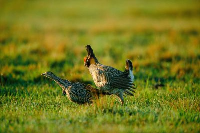 Photo: Endangered Attwater's prairie chickens mate, giving their species one more chance for survival.