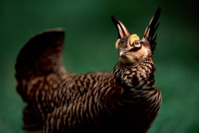 Photo: Attwater's prairie-chicken (Endangered under the Federal ESA) at the Houston Zoo.