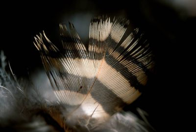 Photo: Feathers shed from the endangered Attwater's prairie-chicken.