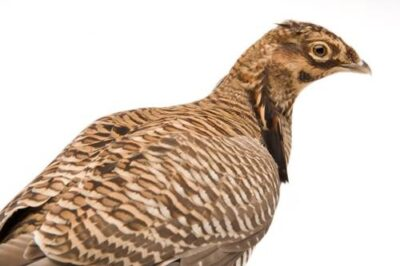 Picture of a vulnerable (IUCN) and federally endangered Attwater's prairie chicken (Tympanuchus cupido attwateri), also known as the greater prairie chicken, at the San Antonio Zoo.