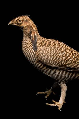 A vulnerable (IUCN) and federally endangered Attwater's prairie chicken (Tympanuchus cupido attwateri), also known as the greater prairie chicken, at the San Antonio Zoo.