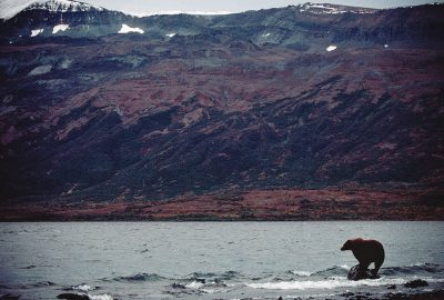 Photo: A wild grizzly bear fishes near Kulik, Alaska.