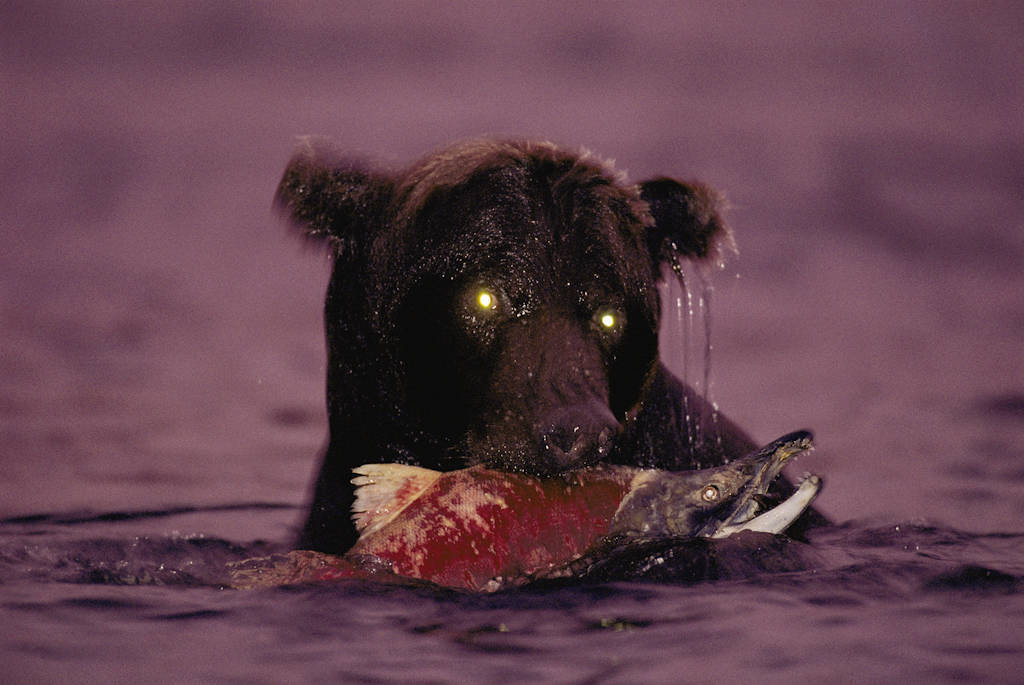 Photo: A grizzly bear fishes for salmon at night near Kulik, Alaska.
