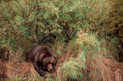 Photo: After feeding on salmon from a river in Kulik, AK, a grizzly lays down for a nap.