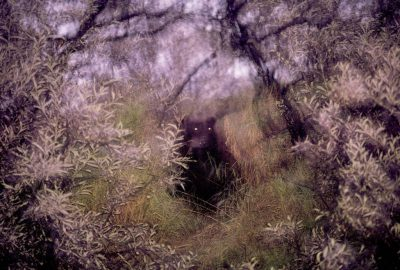 Photo: A wild grizzly bear peers at the camera through brush on the Kulik River in Alaska.