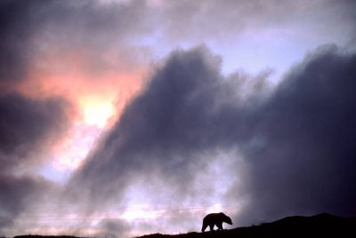 Photo: A grizzly bear silhouetted by sunset in Denali National Park, Alaska.