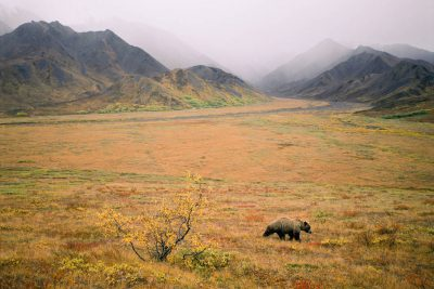Photo: A grizzly bear moves through the fall-colored tundra in Denali Nat'l Park, AK.