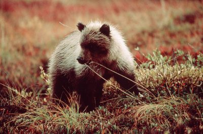 Photo: Grizzly cub in Denali National Park, Alaska.