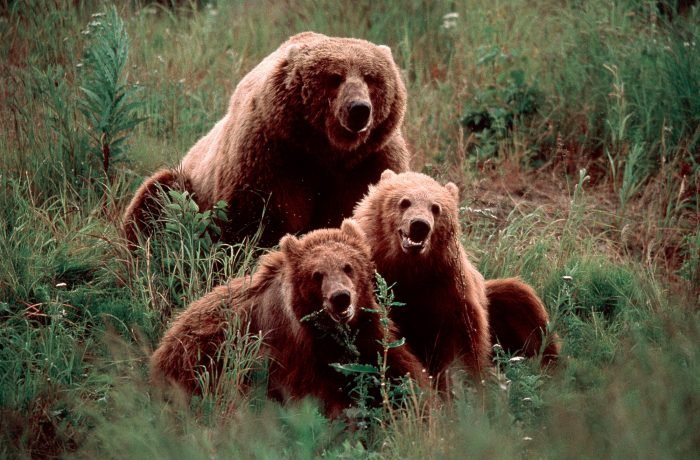 Photo: A mother bear and her cubs in Denali NP.