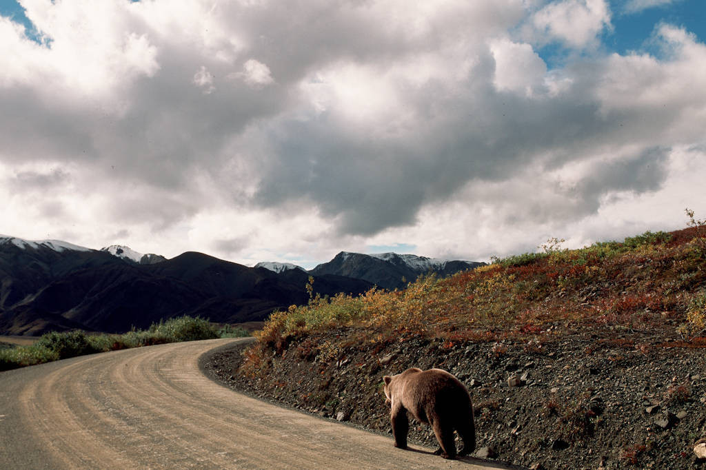 Photo: A grizzly bear follows one of few roads in Alaska's Denali National Park.