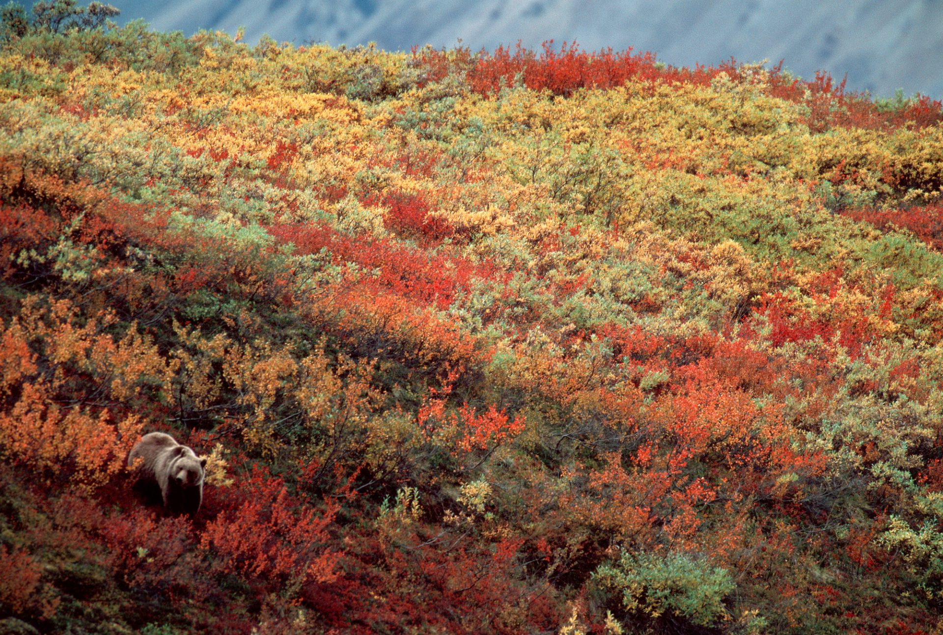 Photo: A grizzly bear in fall color in Denali National Park in Alaska's interior.