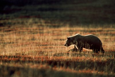 Photo: A grizzly crosses the tundra in Denali National Park in Alaska's interior.