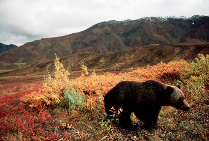 Photo: Grizzly bear in fall color in Denali National Park in the Alaskan interior.