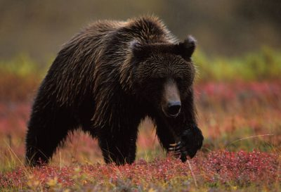 Photo: A grizzly bear in fall color in Denali National Park in Alaska's interior