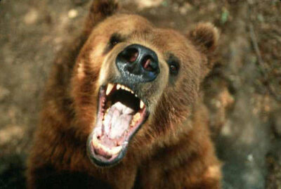"Photo: A trained bear ""snarls"" at the camera."