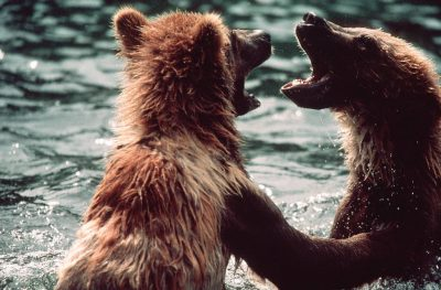Photo: Sibling grizzlies play at Kodiak NWR on Kodiak Island, AK.