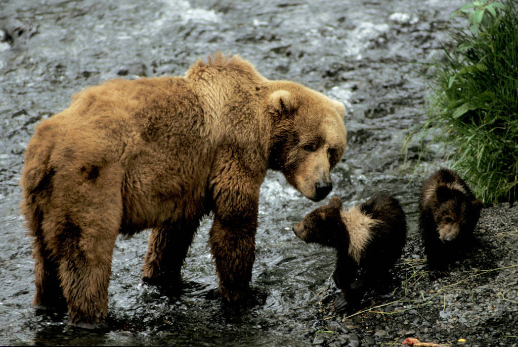 Photo: A mother grizzly bear and her young at Kodiak NWR in Alaska.