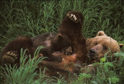 Photo: A young grizzly bear cub nurses on its mother at Kodiak NW near Larsen Bay, Alaska.